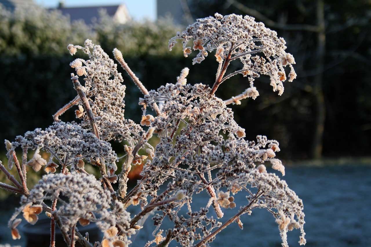 Frostige Hortensienblüten im Wintergarten