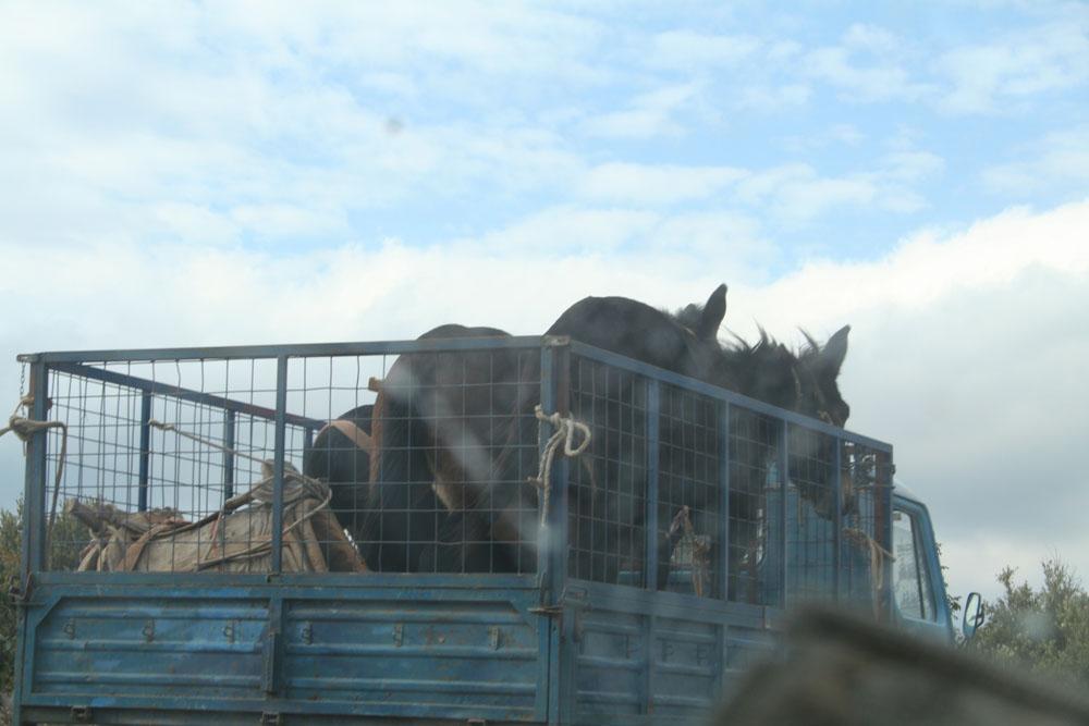 Eseltransport auf der Ladefläche