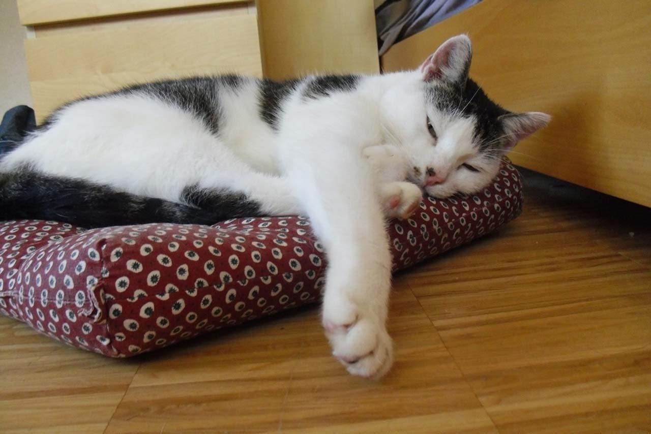 Kater Felix entspannt schlafend auf seinem Kissen