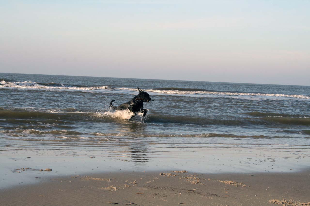 Riesenschnauzer ganz vergnügt in der Nordsee