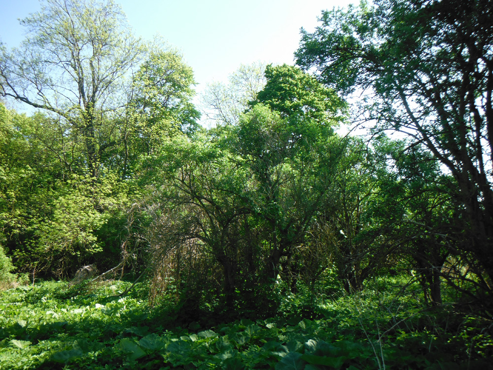 Maigrün in der Natur, maigrüne Bäume