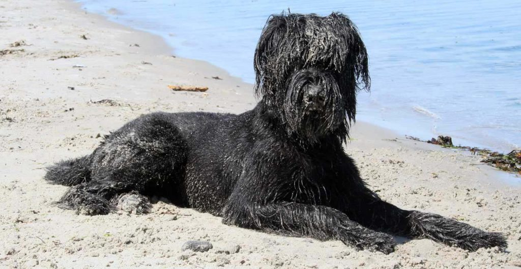 Riesenschnauzer paniert am Strand der Ostsee weil sie sich im Sand gewälzt hat