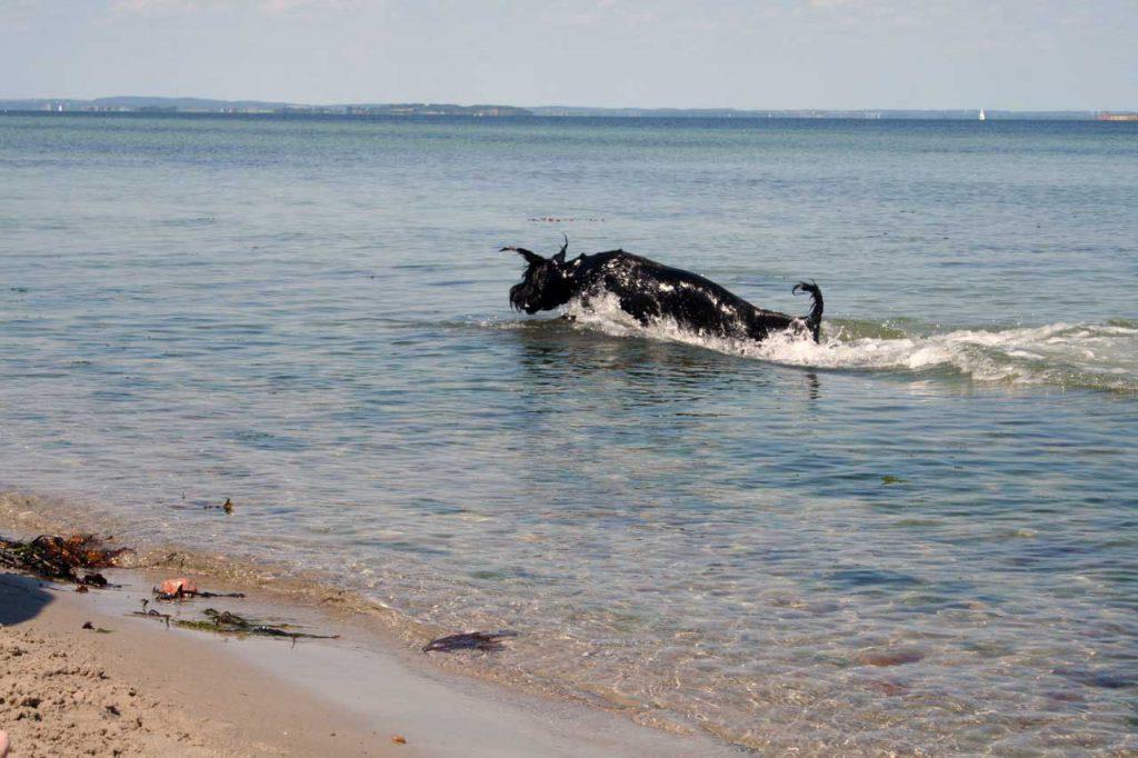 Riesenschnauzer in der Ostsee