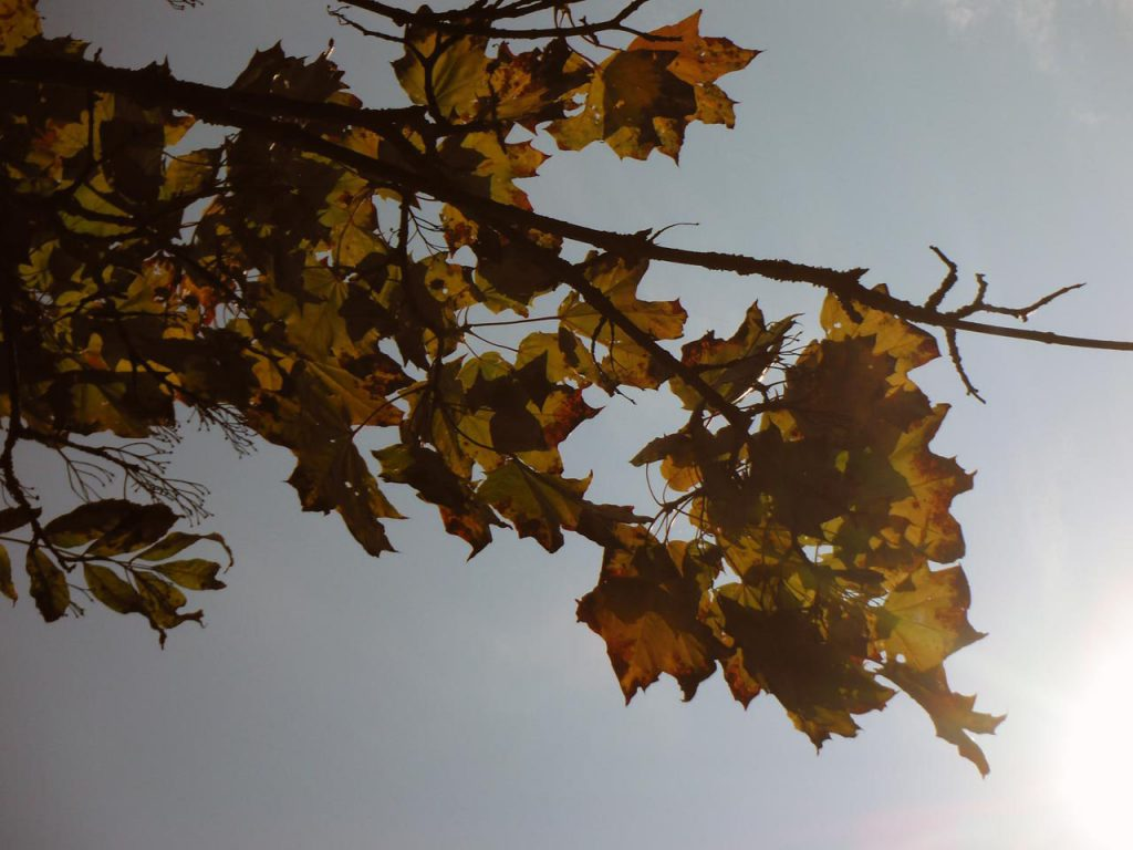 Septembersonne scheint durch Ahornblätter