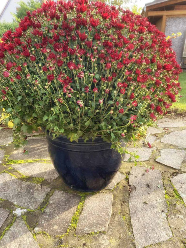 rote Herbstchrysantheme im Topf