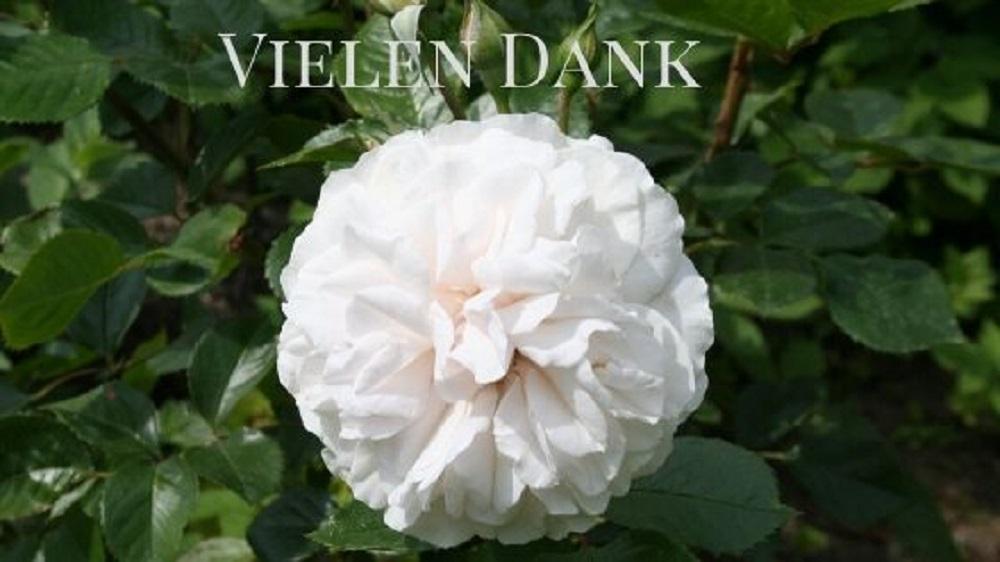 Weiße Rose mit eine Dankegruß
