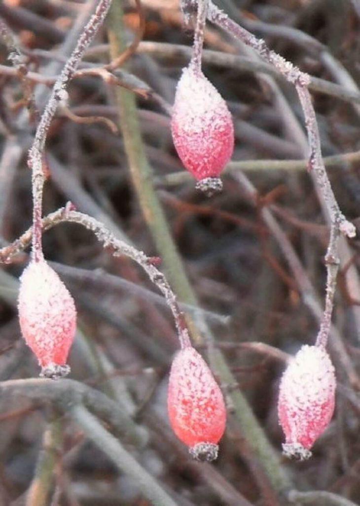 Natur im Winter. Auf dem Foto Hagebutten welche mit Frost überzogen worden sind, wie gezuckert sehen sie aus. Kirsi-schreibt Blogbeitrag