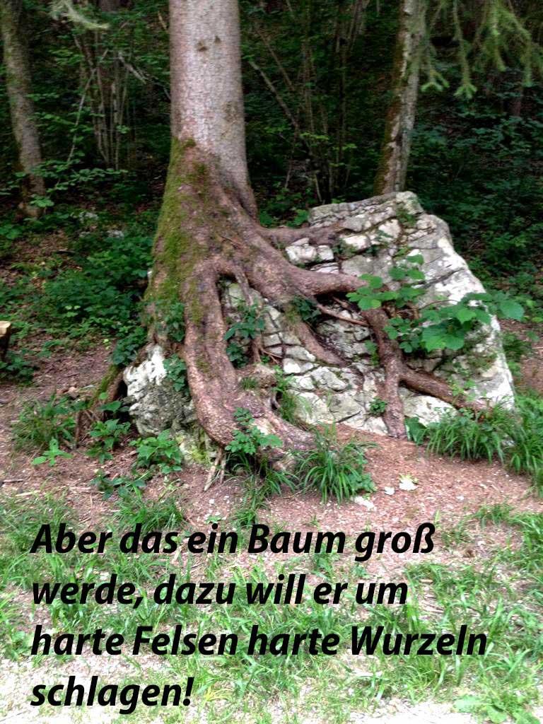 Aber das ein Baum groß werde, dazu will er um harte Felsen harte Wurzeln schlagen. Zitat von Nietzsche, Foto mit einem Baum dessen Wurzeln umschlingen einen großen Stein