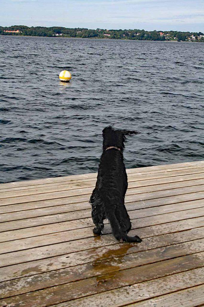Riesenschnauzer schüttelt sich das Wasser auf einem Steg aus dem Fell bevor er wieder in die Ostsee springt