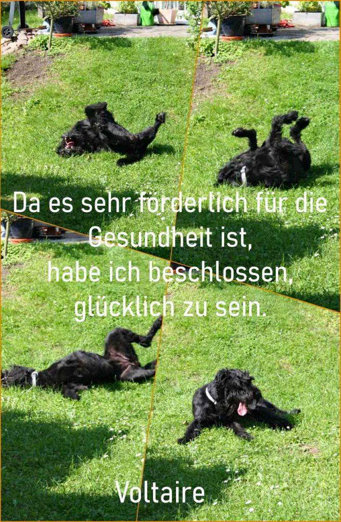 Collage Zitat im Bild mit Coco beim glücklichen Wälzen zum Zitat Ich habe beschlossen glücklich zu sein