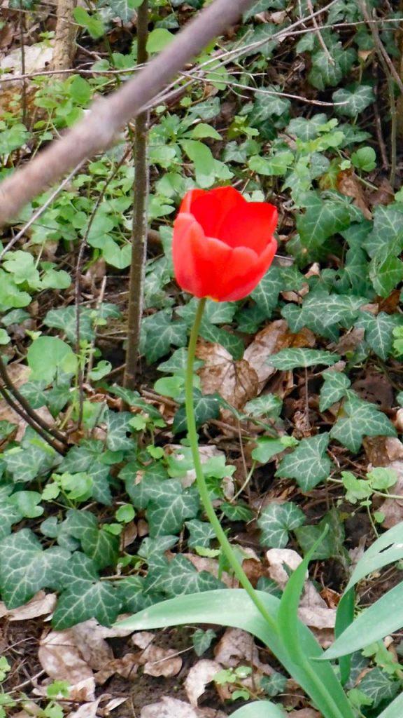 Zum 100 eine rote Tulpe