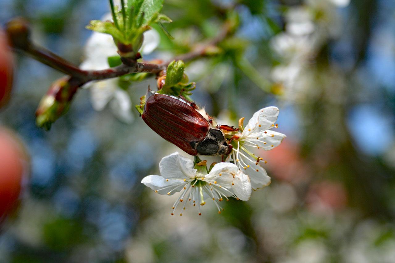 Maikäfer in weißen Blüten