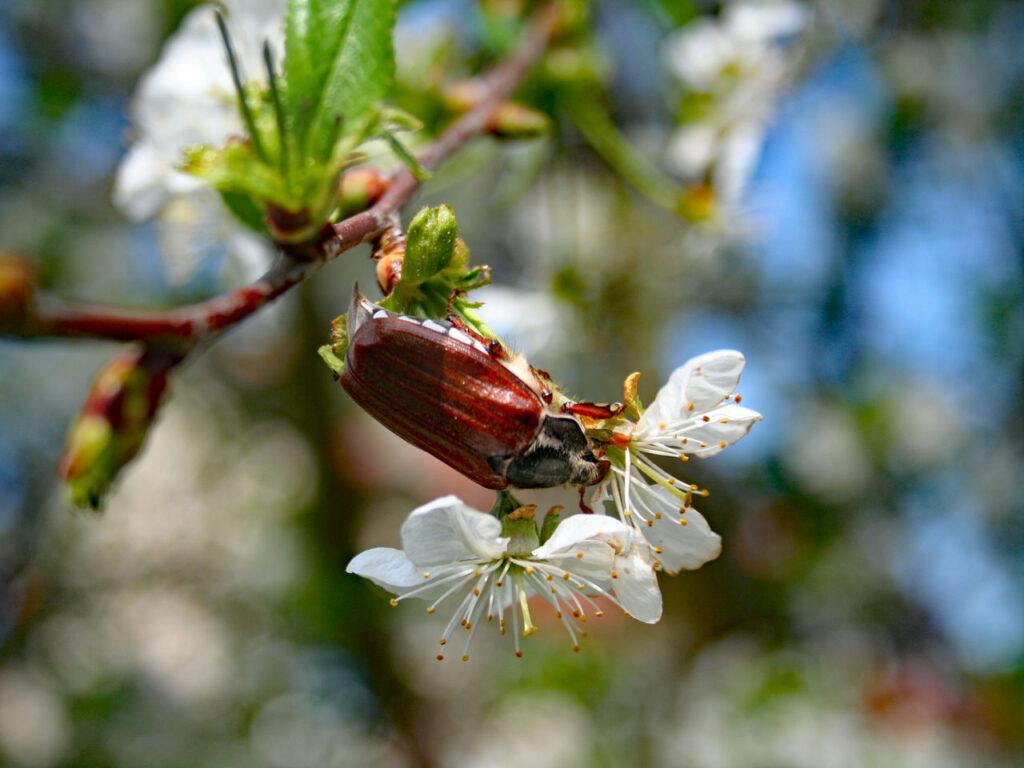 Maikäfer im Kirschbaum