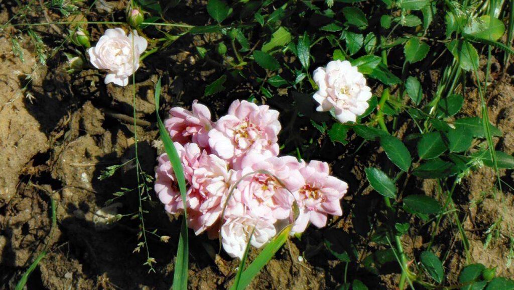 Kleine zart rosafarbene Rose inmitten eines Schutthaufens wo nur robustes Gras wächst