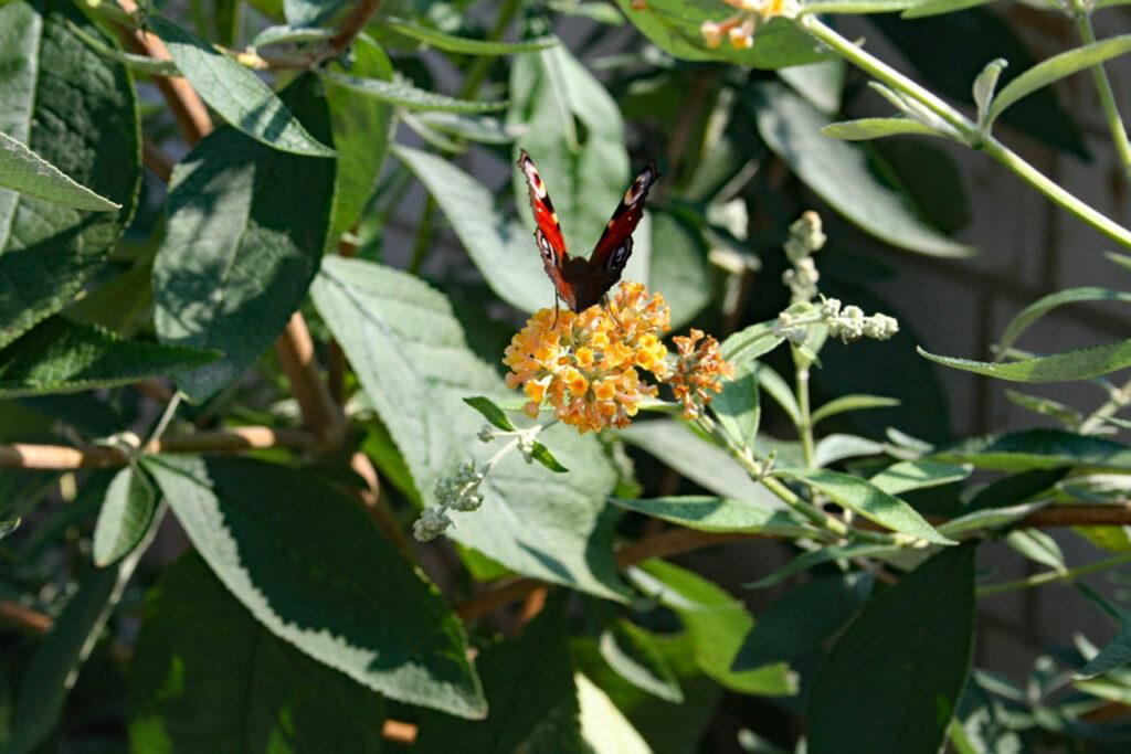 Schmetterling im Abflug