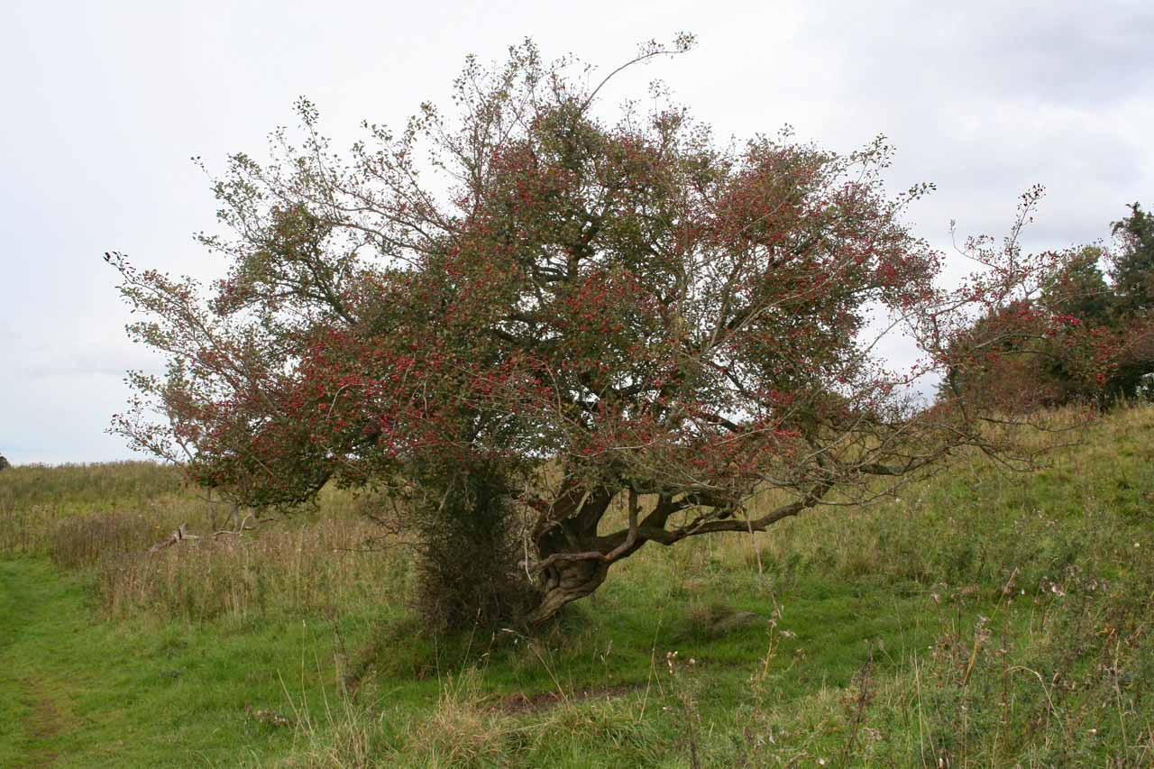 Baum eventuell Rotdorn