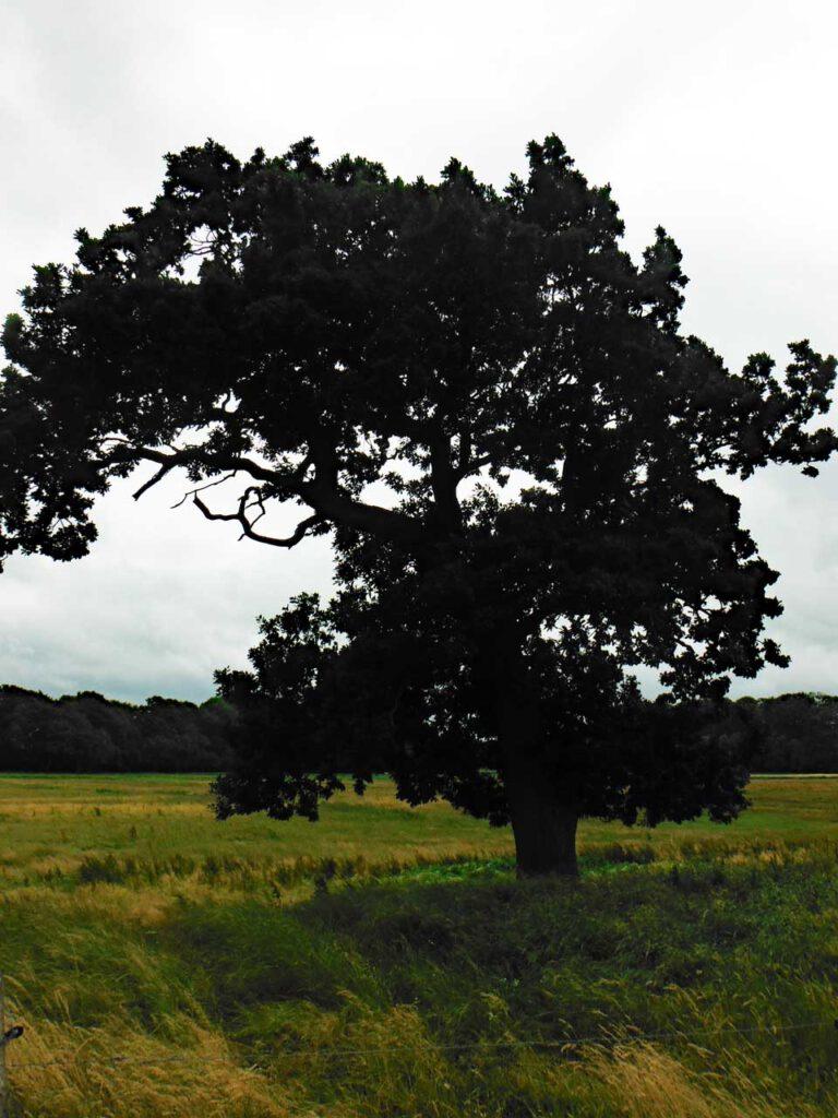 Markanter Baum in einer Dünenlandschaft