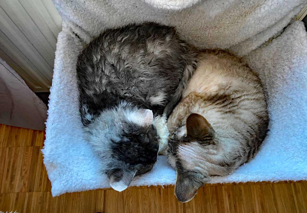 Devon Rex Hauskatzen