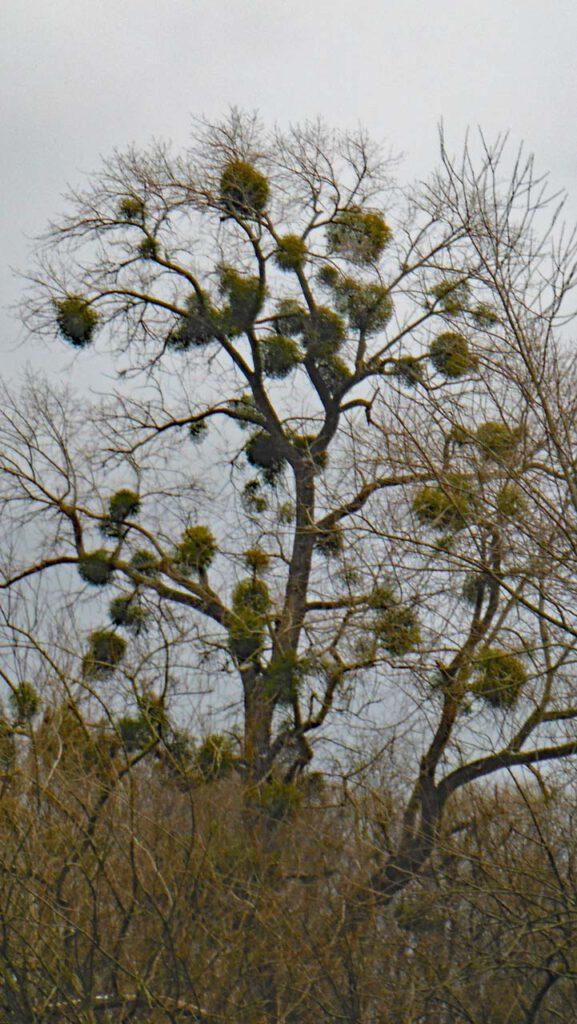 Baum mit vielen Misteln