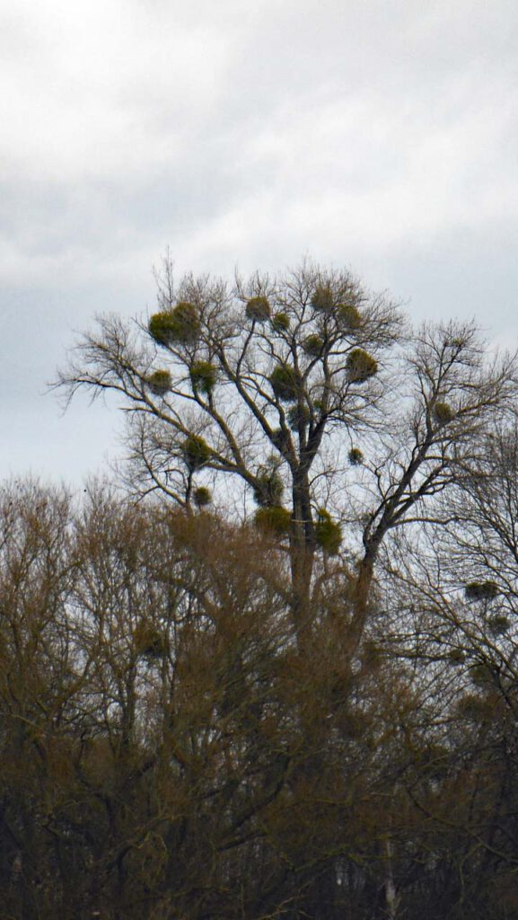 Misteln am Baum im Winter