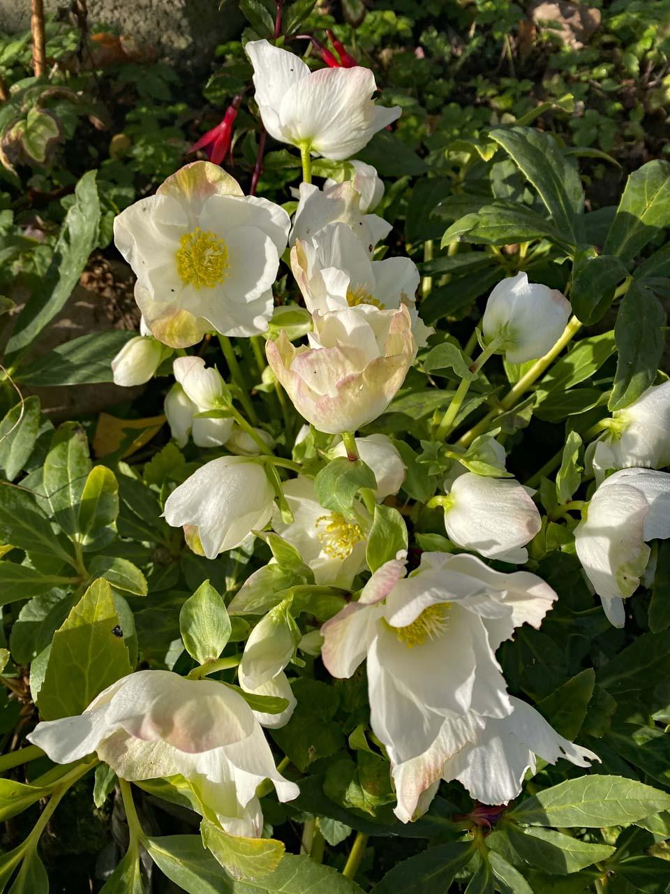 Weiße Christrosen Helleborus im Garten
