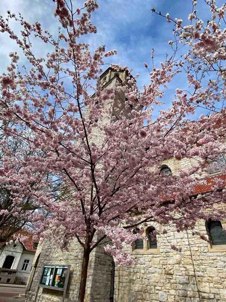 Japanische Kirschblüten rosa