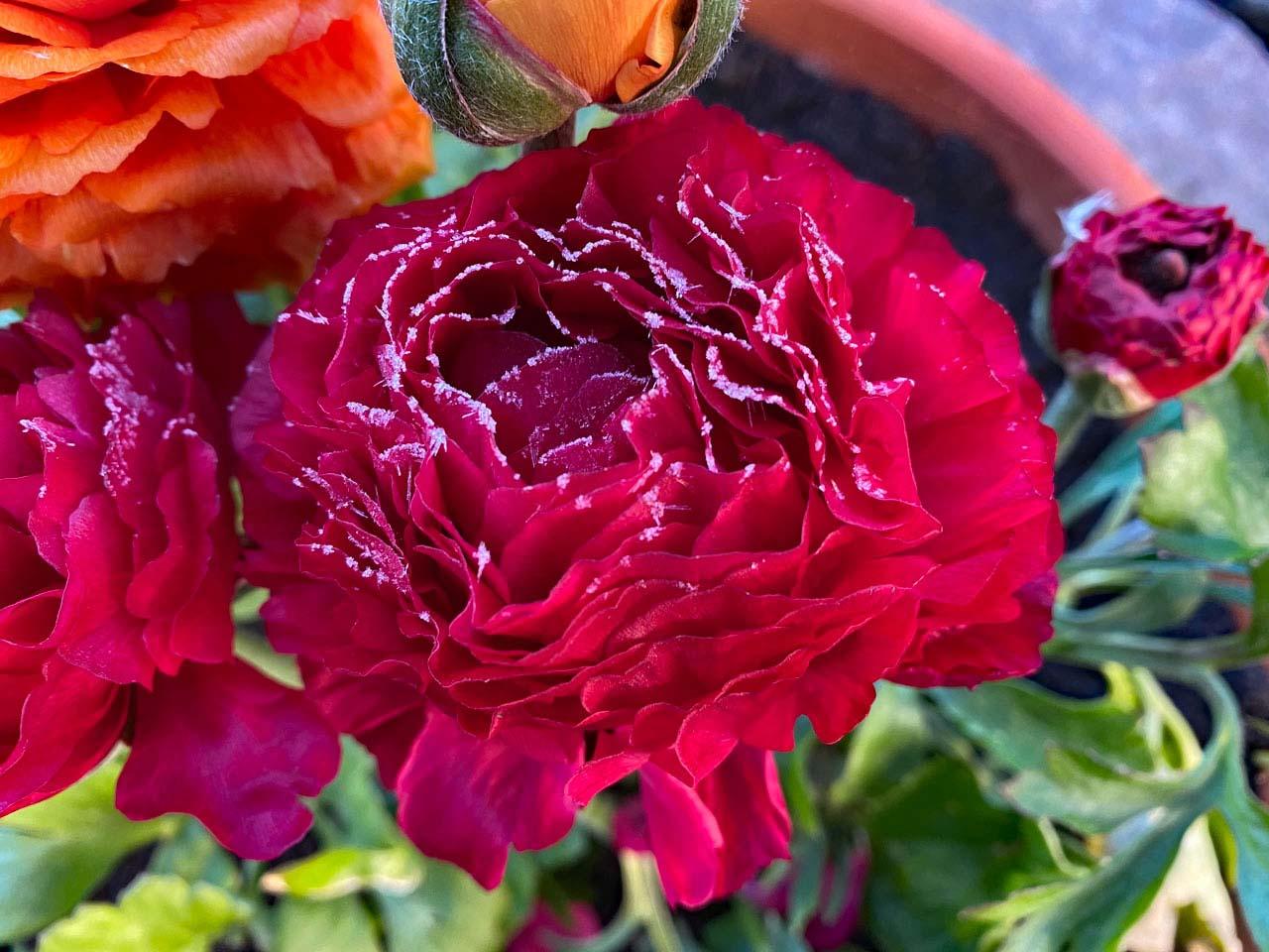 Ranunkel im Garten gefrostet