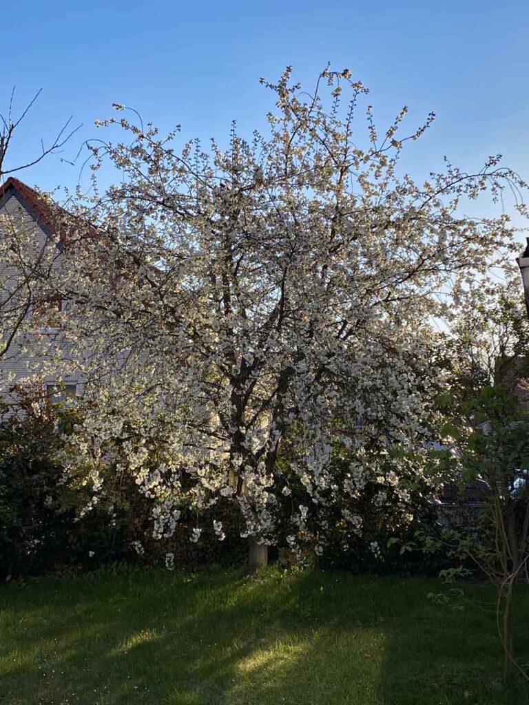 Sauerkirschbaum in voller Blüte
