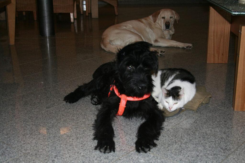 Labrador, Riesenschnauzer und Kater