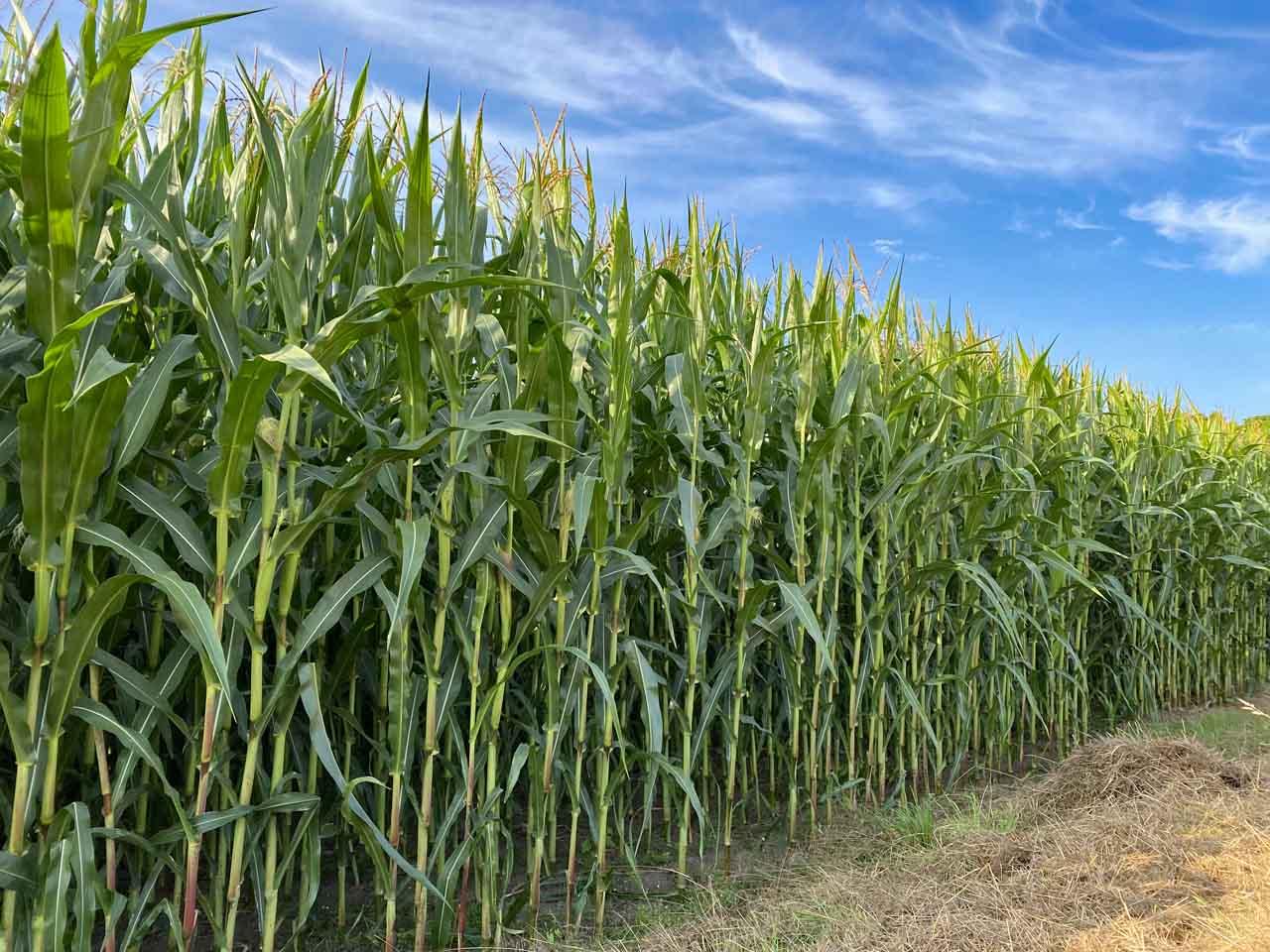 Maisfeld Landleben und Hunderunden