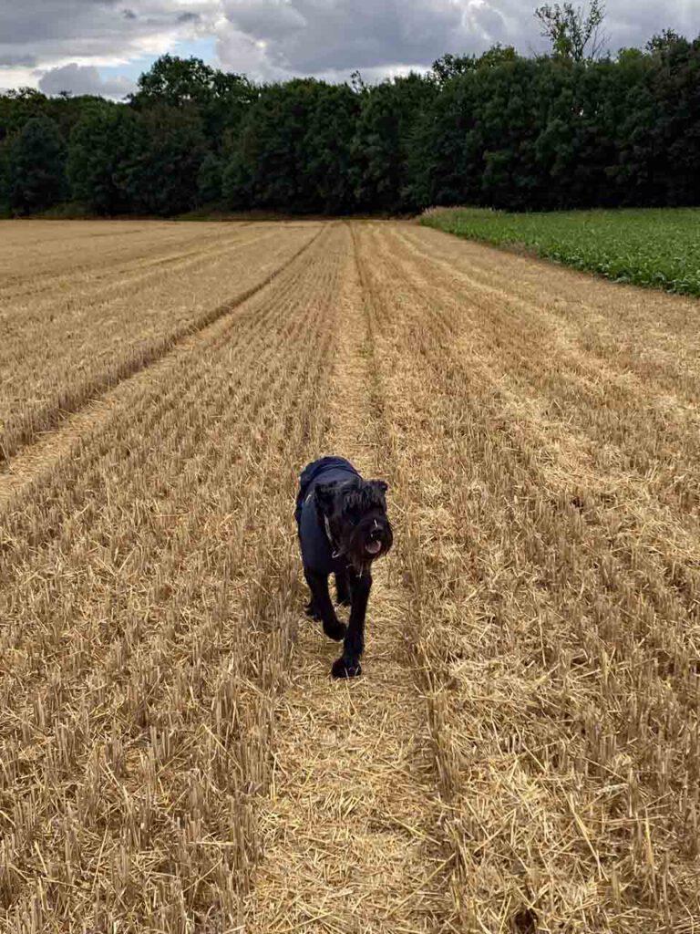 Stoppelfeld Landleben mit Hund