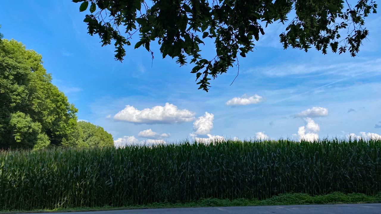 Hoher Mais Tiefer Ast und blauer Himmel