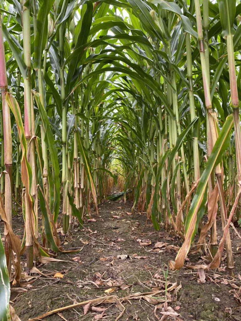 Maisfeld Blick hinein auf den Boden
