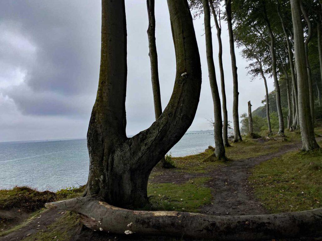Baum an der Steilküste in Heiligendamm